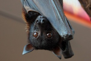 Flying Fox also called the fruit Bat