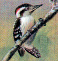 Ceylon Pygmy Woodpecker