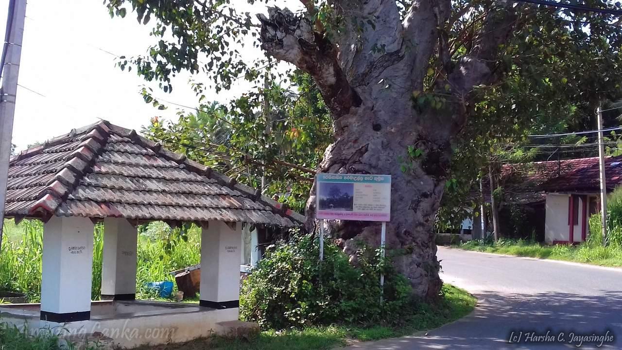 Paramaulla Ambalama and Historic Geta Kumbuk Tree - පරමාඋල්ල අම්බලම සහ ඓතිහාසික ගැට කුඹුක් ගස