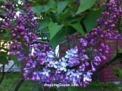 Lilacs are coming!