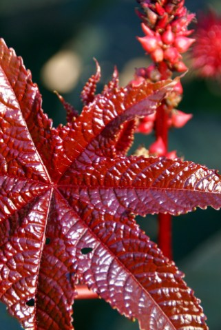 The glossy reddish brown leaf of Castor Oil Plant (Ricinus communis), a poisonous plant of many uses. Selective focus.