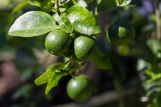 Lime Gardening Lime Fruits Or Lemon Fruits On Tree.