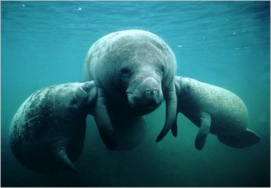 Manatees Belize Animals Caribbean Critters