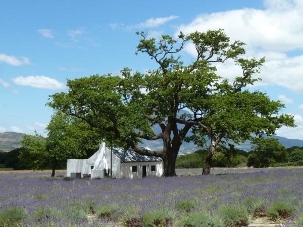Lavender field in Franschhoek, South Africa