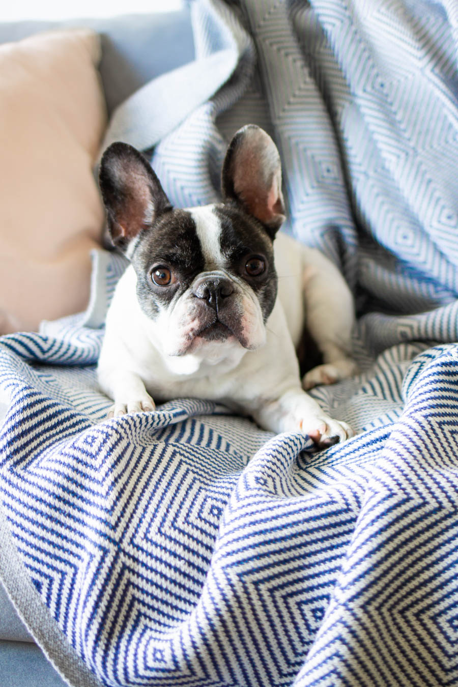 Lily the french bulldog