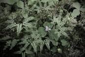 Maiden Ferns and Trilliums