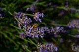 Lavender and the Bee II