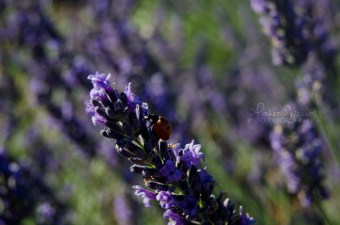 Lavender and the Lady Bug