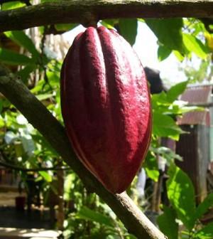 cacao grezzo proprietà