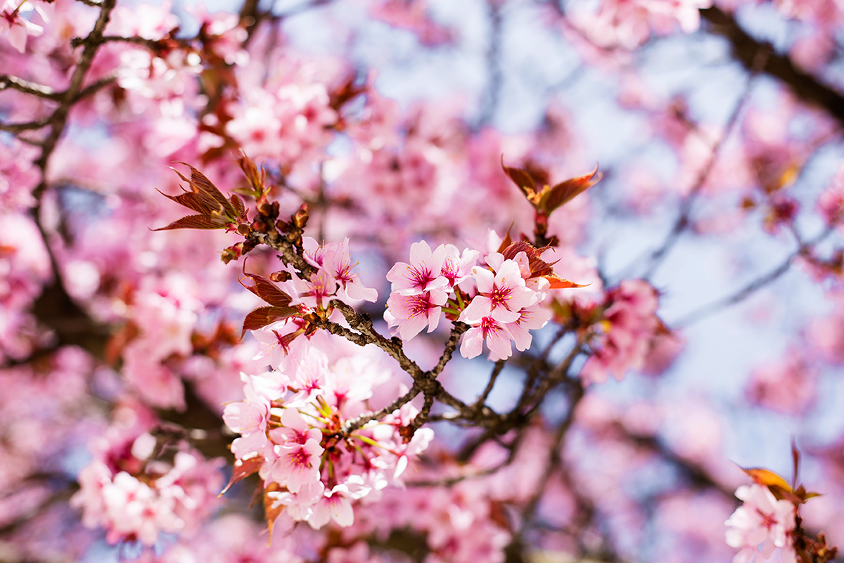 Photos of Sakura Trees Pink Cherry Blossoms in Paris by Ambitieuse