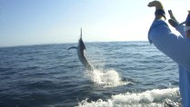 Billfish fishing sydney