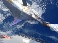 Blue Marlin...