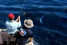 A  Striped Marlin close...