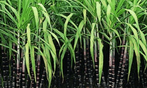 Niti Aayog Task Force headed by Ramesh Chand Recommends Linking of Sugarcane Prices to Sugar Rate