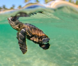Many sea turtle inhabit the Caribbean Sea around Belize.
