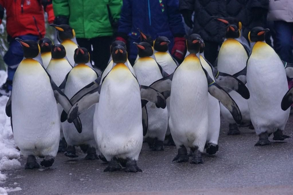 australia-penguin