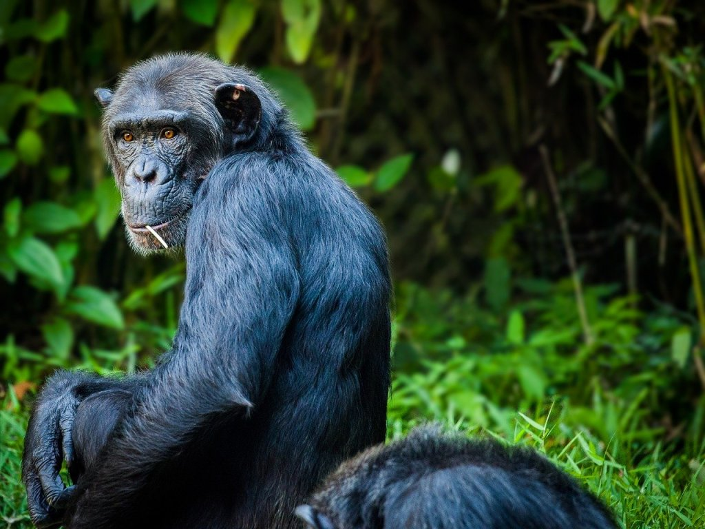chimpanzee-