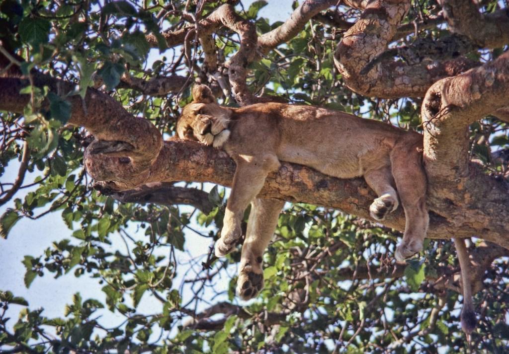 uganda-tree lion