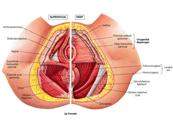 perineal-muscles-pelvic-floor-diagram