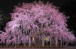 六義園 桜 2015