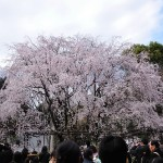 六義園の桜ライトアップ2018!日程と見ごろ、混雑を回避する方法を紹介します