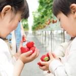 いちご狩りの人気スポット!埼玉県所沢の苺のマルシェ!おすすめはお子様やお年寄りに安全な場所