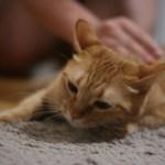 ネコからうつる病気・コリネバクテイルム・ウルセランスなどの症状の注意点と対策