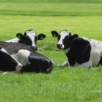 グラスフェッドビーフと普通の牛肉との違いは?栄養価や効能を知ろう