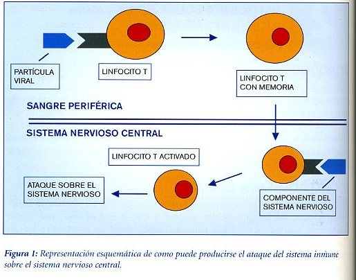linfocito
