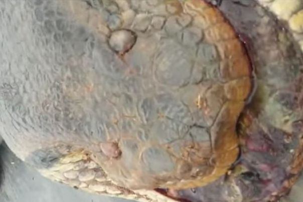 monster-anaconda-found-on-construction-site-in-brazil