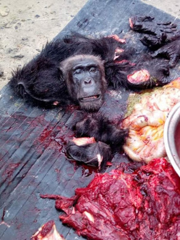 Hunter Killed And Butchered A Gorilla In Sapele (2)