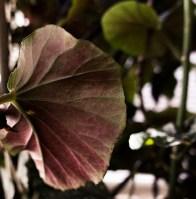 angle-wing begonia