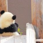 上野動物園パンダ(シャンシャン)の混雑や待ち時間・入場制限は?