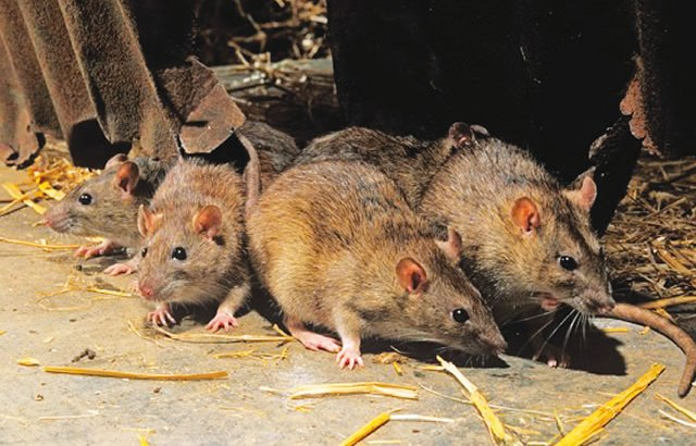 Lassa fever kills three in Delta, 24 under surveillance
