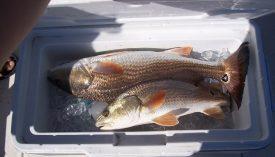 Amelia Island Fishing Reports 7