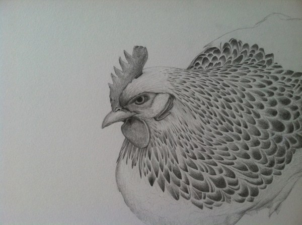 Chicken Drawings Sketches