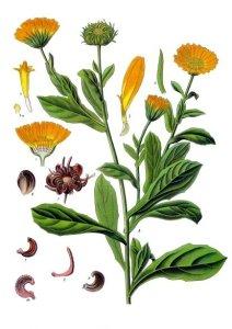 Calendula officinalis planche botanique pour herbier