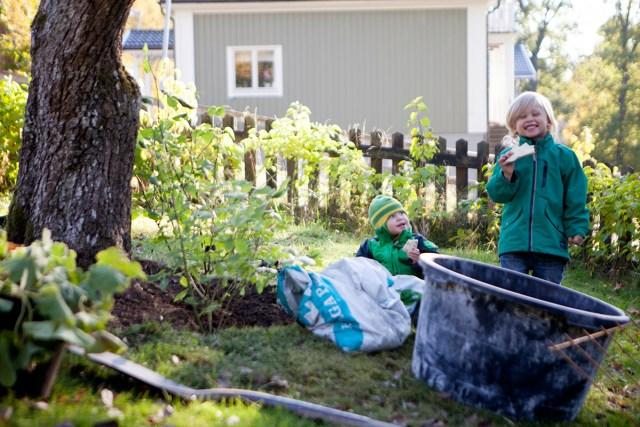 Rabatt runt träd. Rabatt runt äppelträd, päronträd. Höst i trädgården.