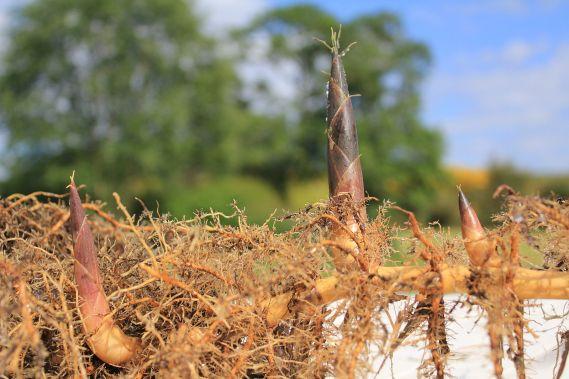 rhizomes de bambous
