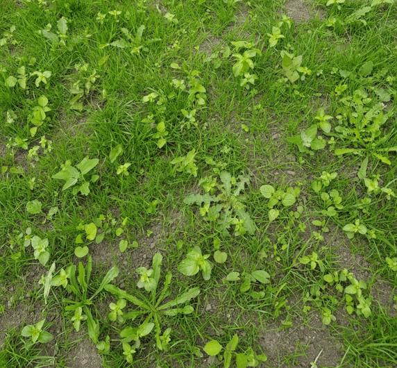 mauvaises herbes jeune gazon