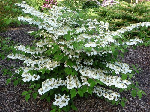 Viburnum plicatum plante d'ombre