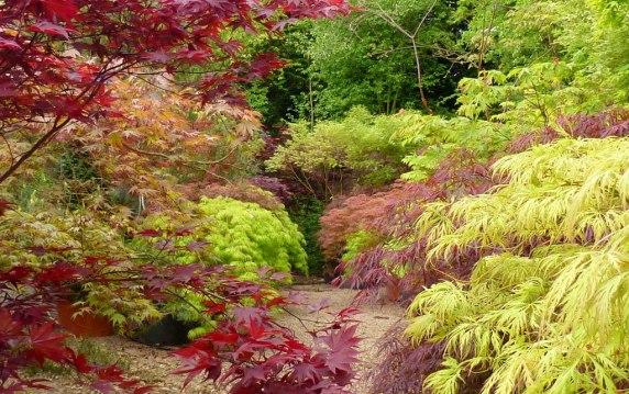 les érables du japon, des plantes d'ombre colorées à l'automne