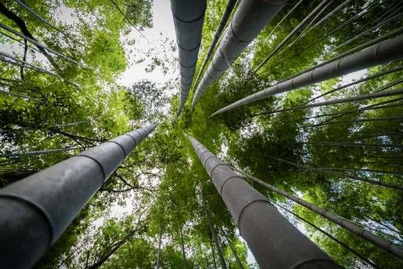 Comment Planter Une Haie De Bambous Sans Risques
