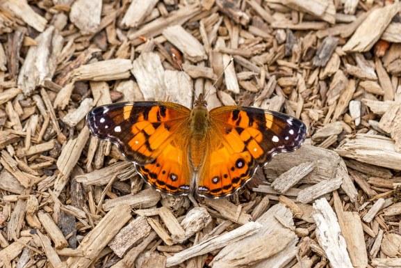 papillon sur les copeaux de bois du paillage végétal
