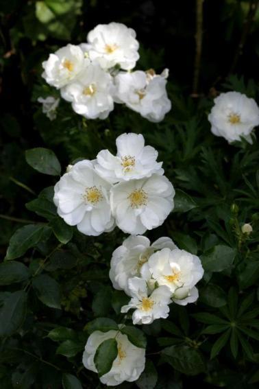 Décorosier grimpant Emera à fleurs blanches parfumées