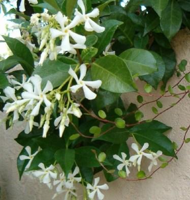 jasmin trachelospermum