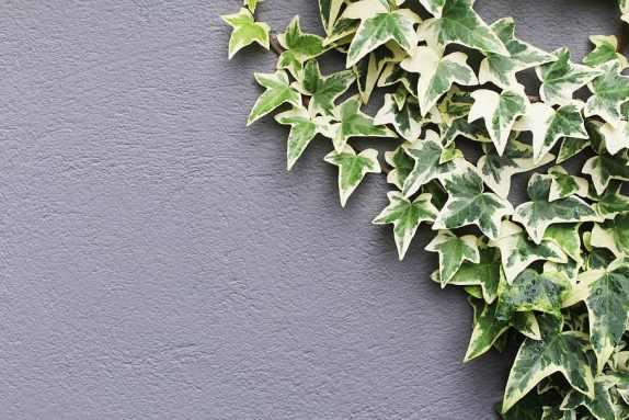 Lierre panaché, une plante grimpante persistante à croissance rapide sur un mur