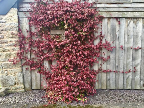 Jasmin persistant, une grimpante au feuillage rouge à l'automne sur une clôture bois