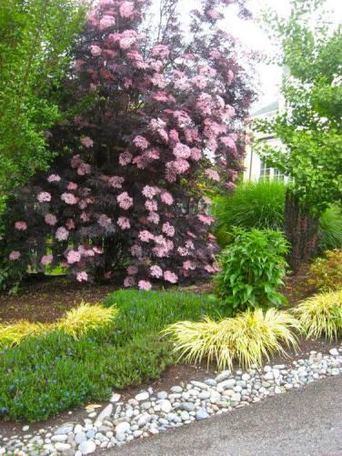 le sureau noir, une plante qui résiste sous un arbre