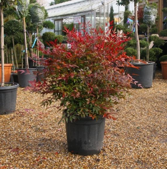 Nandina domestica, un buisson sous un arbre